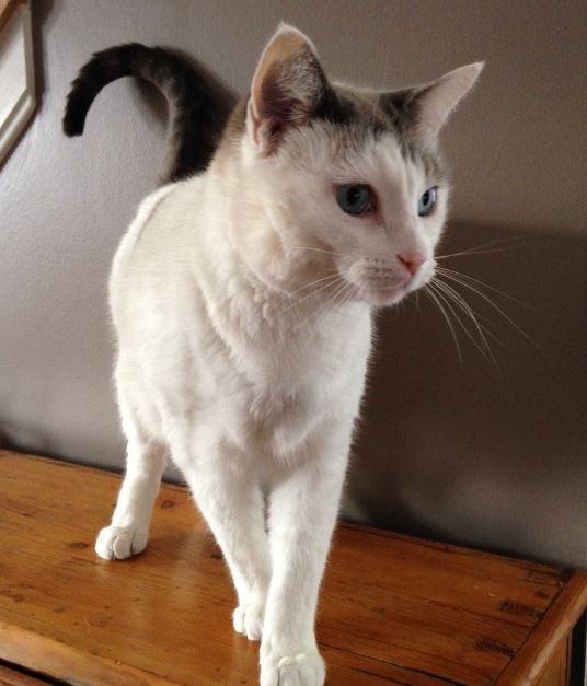 Siamese Mix Cat For Adoption