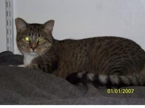 Roro - Male Tuxedo Tabby Cat For Adoption in VA