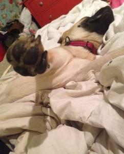 Rosie - Adorable Pug Mix For Adoption Chicago