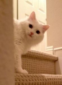 Exquisite Purebred Turkish Angora Cat Adopted In Irvine Ca Pet Re
