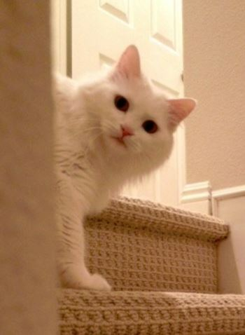 Turkish Angora Cat For Adoption Irvine