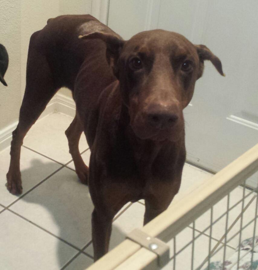 Bowser Purebred Red Doberman Pinscher Seeks New Home In