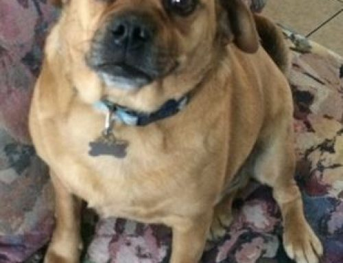 Bentley – Extremely Cute Puggle For Adoption in Las Vegas, NV