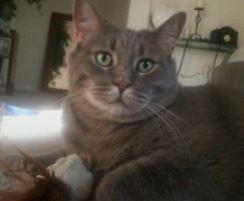 Tabby CAt For Adoption in Phoenix, AZ