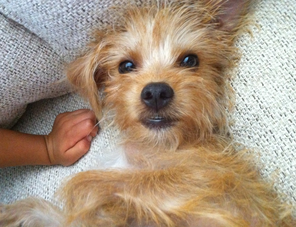 Buster Adorable Yorkie Mix To Adopt