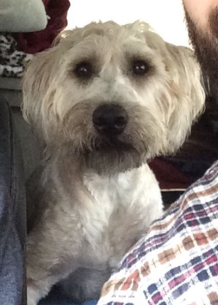 wheaten terrier rescue texas murphy soft coated wheaten terrier found a great home in 6892