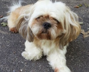 shih tzu for adoption in new york