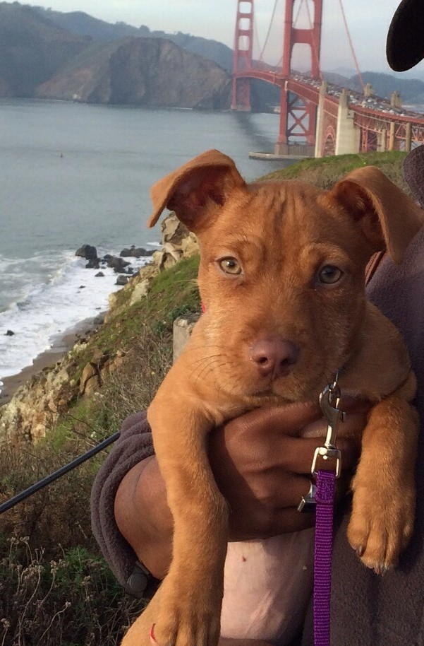 Dachshund Mix Puppy For Adoption in Oakland