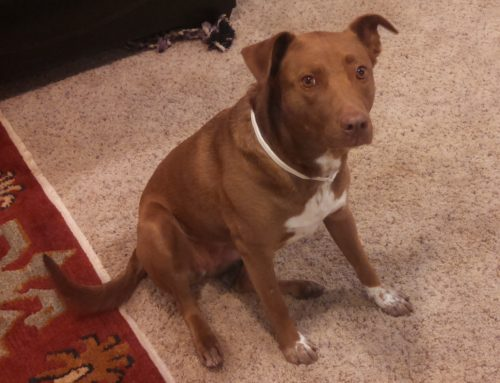 ADOPTED – Samantha – Amazing Lab/Collie Mix  in Arvada CO