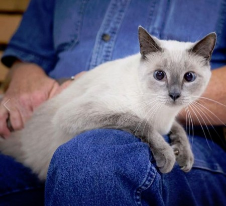 Lily-siamese-cat