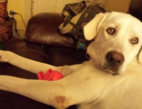 ADOPTED – Loving Lola – Gorgeous Yellow Lab  West Greenwich, RI
