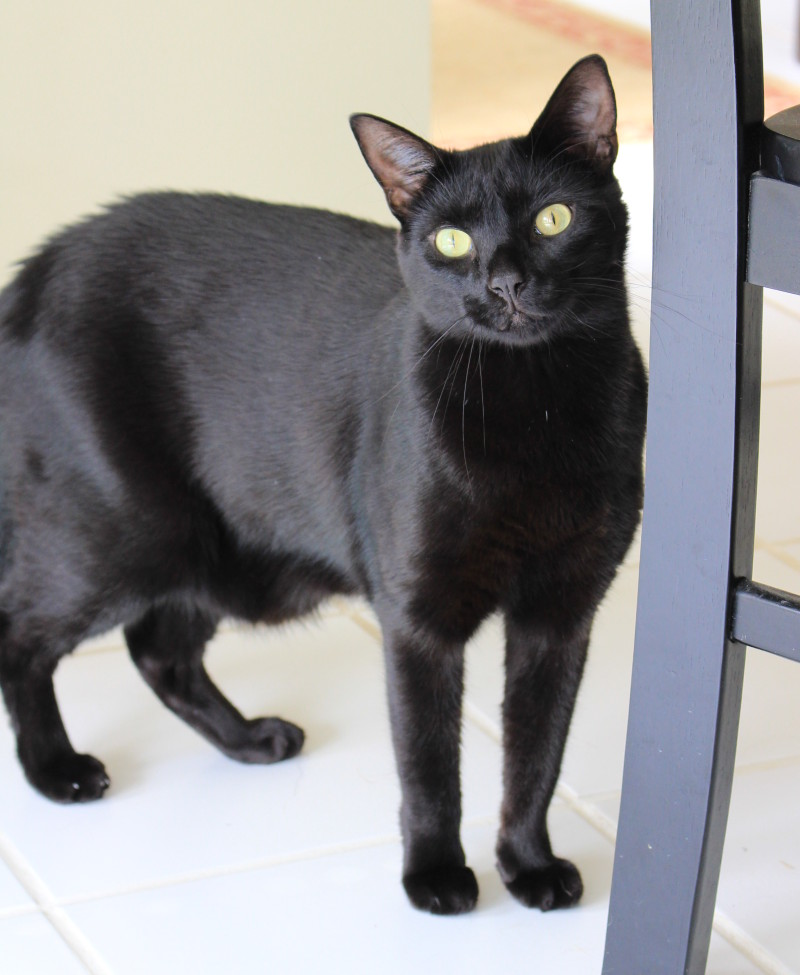 Black Cat For Adoption in Lawrenceville GA