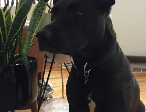 Black Lab Mix for Adoption in Brooklyn – Boomer