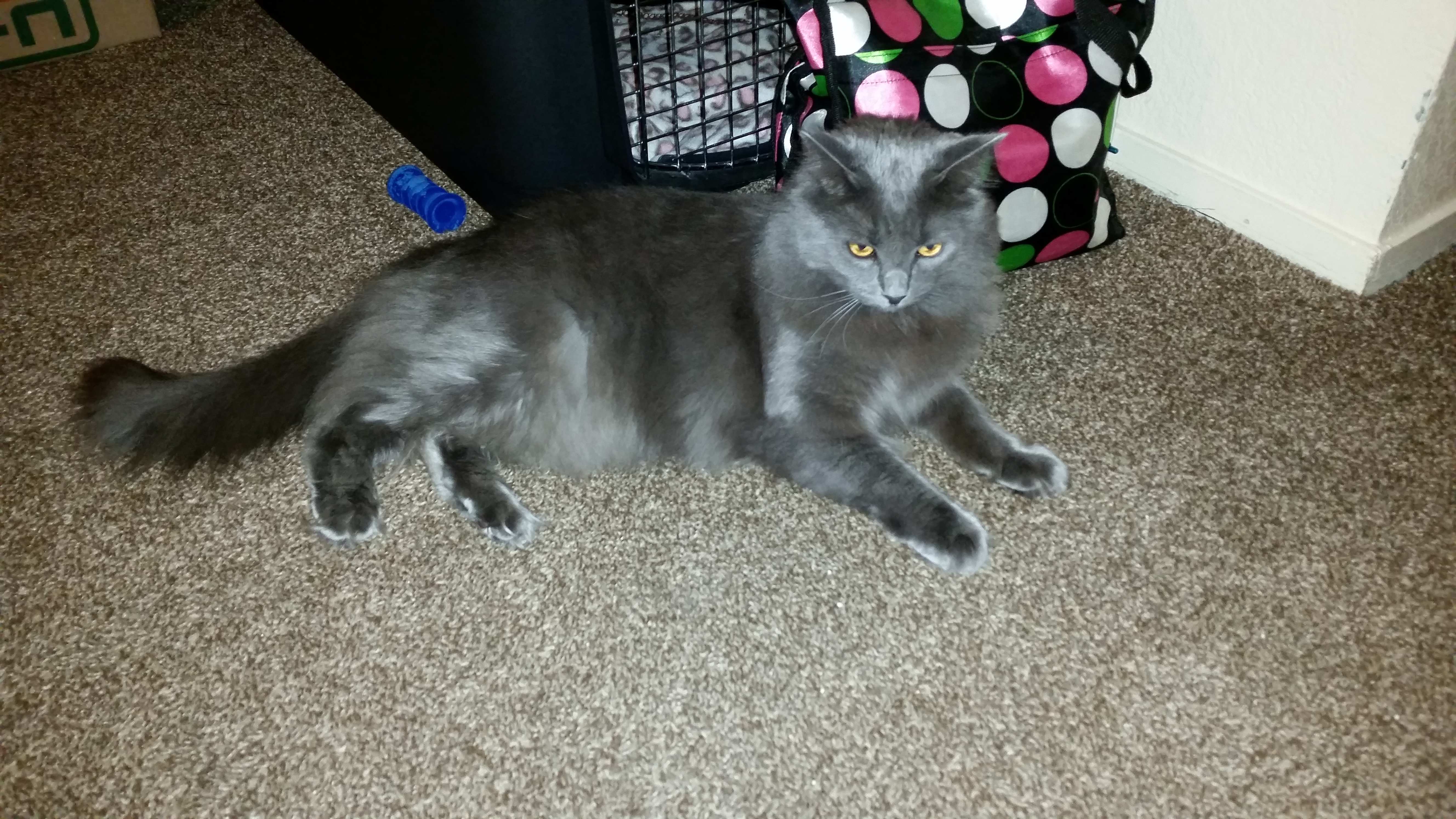 Nebelung mix cat blue and gray for adoption Eva Pet Re homing