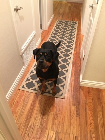 Rottweiler adoption
