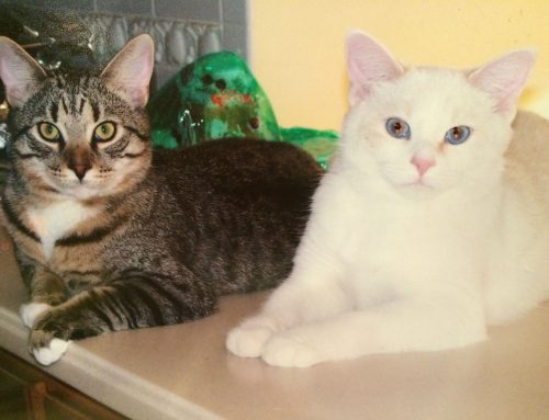 Cats, Maine Coon & Tabby Mix Bonded – Gizmo & Gidget