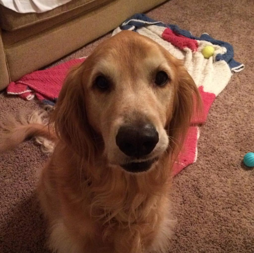 ADOPTED Male Golden Retriever Named Summit - Pet Re-homing