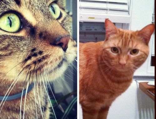 ADOPTED Maine Coon and Orange Tabby Cats, Butters and Little Boy (unbonded)
