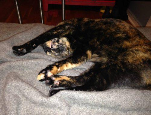 ADOPTED Female Tortie Cat Named Bibi