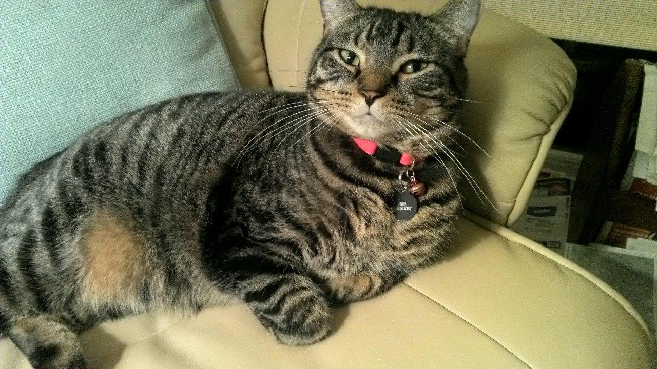 Male Striped Tabby Cat Named Fred - Minnesota Pet Adoptions